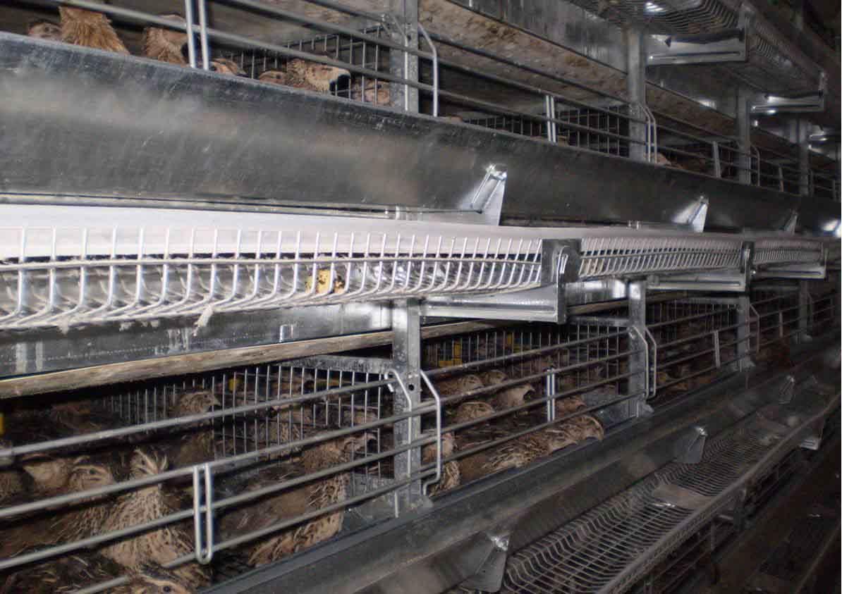 Технология выращивания перепелов на промышленной основе 76